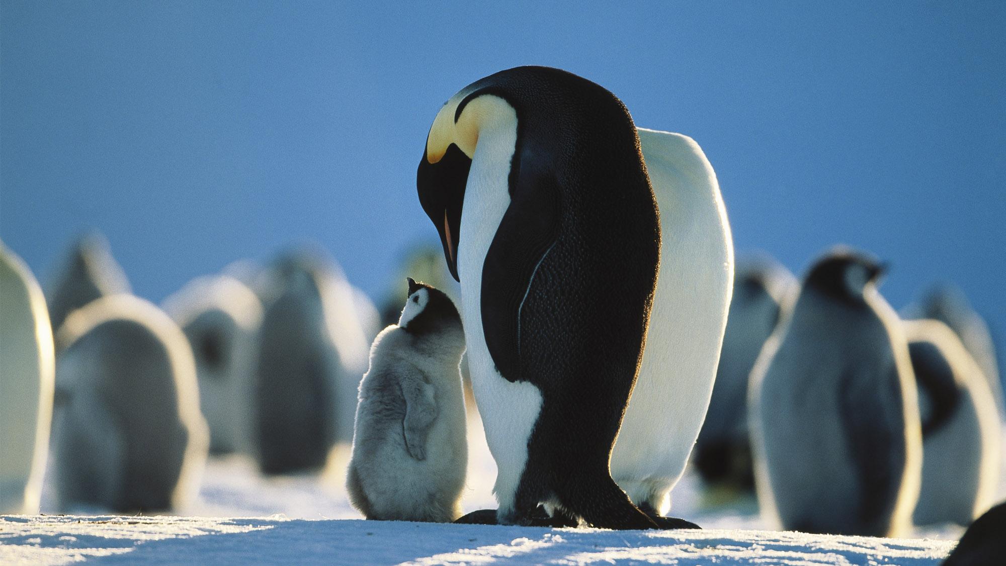 皇帝ペンギン南極物語③ ヒナを守...
