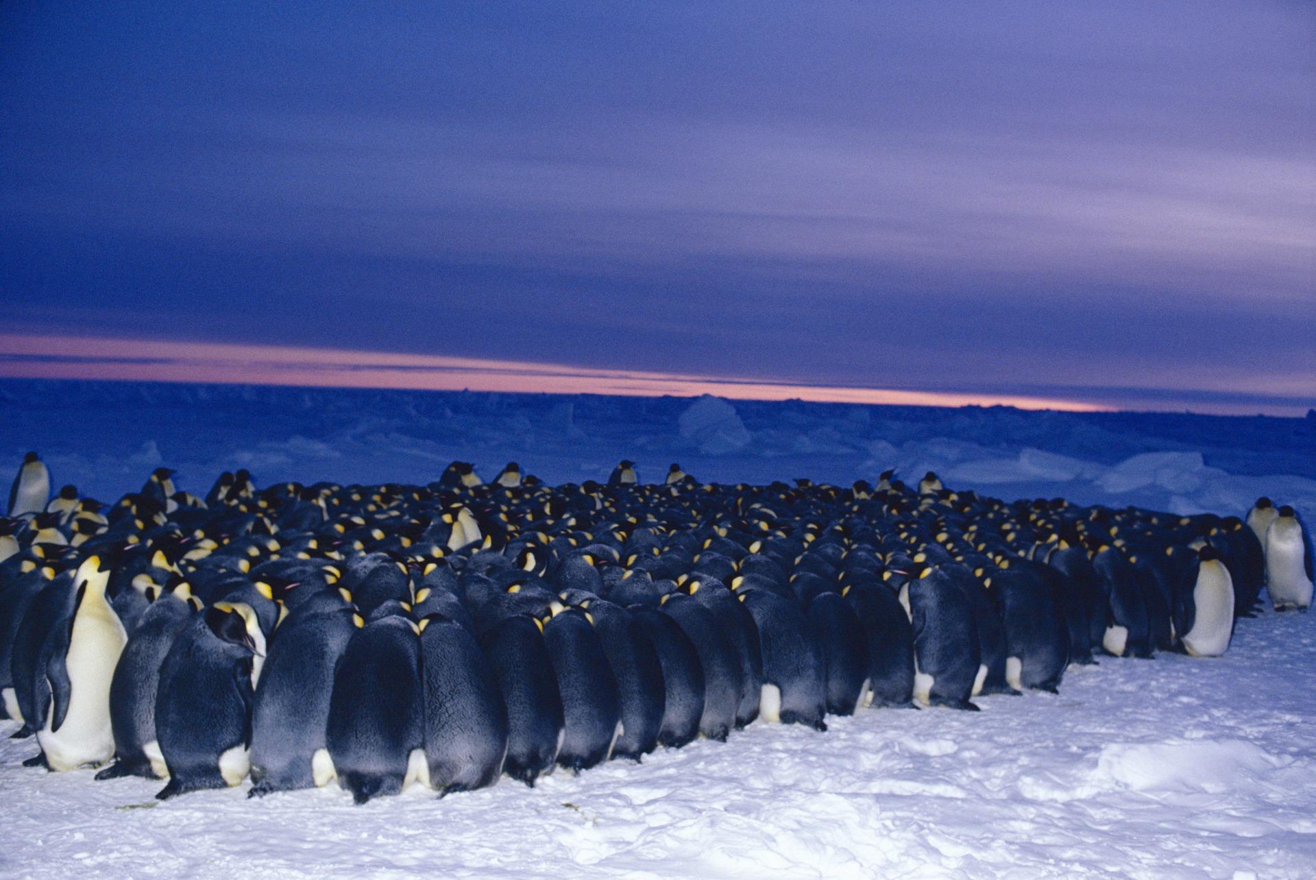 皇帝 ペンギン 寿命